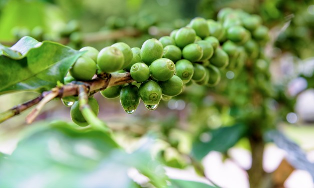 Pure Green Coffee Bean Extract – An Excellent Weight Loss Solution